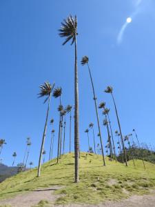 palmiers de cire, vallée de Cocora