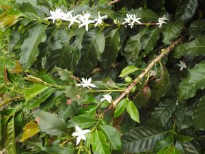"""fleur et fruit du caféier; nous sommes au coeur de la zone cafetère : """"paysage culturel du café"""""""