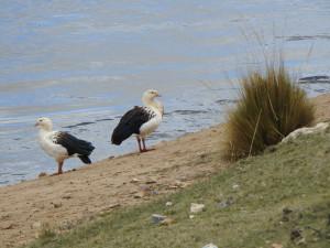 2019-11-26 14B  oiseaux vers Junin (Large)