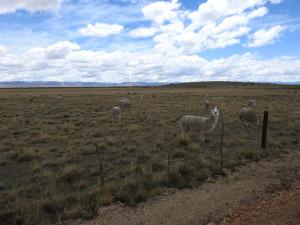 2019-11-26 18B  lamas vers Junin (Large)